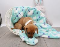 Dachshund Puppies for sale in American Fork, UT 84003, USA. price: NA