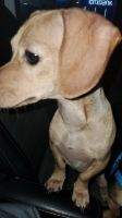 Dachshund Puppies for sale in Queens, NY, USA. price: NA