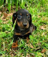 Dachshund Puppies for sale in Guatemala Ln, Rock Creek, NC 28659, USA. price: NA