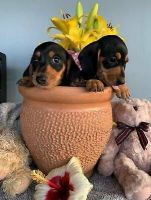 Dachshund Puppies for sale in Seattle, WA, USA. price: NA