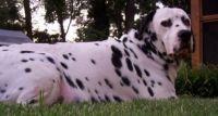 dalmador dog