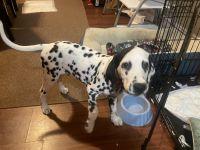 Dalmatian Puppies for sale in Alpha, NJ 08865, USA. price: NA