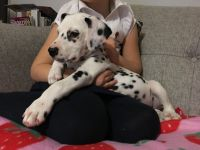 Dalmatian Puppies for sale in S First Colonial Rd, Virginia Beach, VA 23454, USA. price: NA
