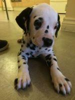 Dalmatian Puppies for sale in Miami, FL, USA. price: NA