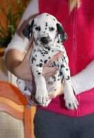 Dalmatian Puppies for sale in West Palm Beach, FL, USA. price: NA