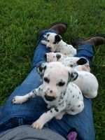 Dalmatian Puppies for sale in Mt Sterling, KY 40353, USA. price: NA