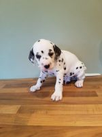 Dalmatian Puppies for sale in Columbus, OH, USA. price: NA