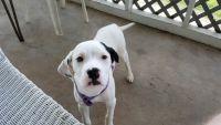 Dalmatian Puppies for sale in Clinton, SC 29325, USA. price: NA