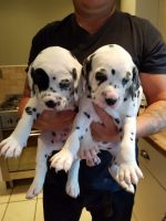 Dalmatian Puppies for sale in Nevada St, Bell, CA 90201, USA. price: NA