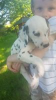 Dalmatian Puppies for sale in Texas City, TX, USA. price: NA