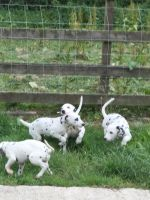 Dalmatian Puppies for sale in California St, San Francisco, CA, USA. price: NA