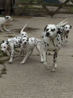 Dalmatian Puppies for sale in Florence, KY, USA. price: NA