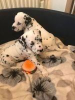 Dalmatian Puppies for sale in Springfield, IL, USA. price: NA