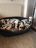 Dalmatian Puppies for sale in West Des Moines, IA, USA. price: NA