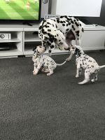 Dalmatian Puppies for sale in New York, NY, USA. price: NA