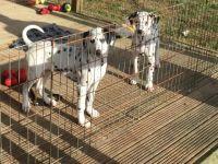Dalmatian Puppies for sale in Dallas, TX, USA. price: NA