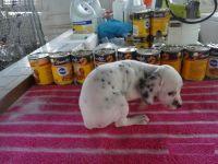 Dalmatian Puppies for sale in Fresno, CA, USA. price: NA