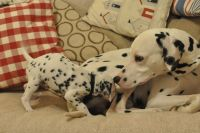 Dalmatian Puppies for sale in Reynoldsville, PA 15851, USA. price: NA