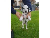 Dalmatian Puppies for sale in NEW New Paltz Plaza, New Paltz, NY 12561, USA. price: NA