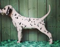 Dalmatian Puppies for sale in Brownfield, TX 79316, USA. price: NA