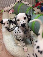 Dalmatian Puppies for sale in CA-111, Niland, CA 92257, USA. price: NA