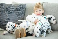 Dalmatian Puppies for sale in Nashville, TN 37246, USA. price: NA