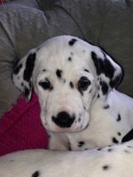 Dalmatian Puppies for sale in St. Louis, MO, USA. price: NA