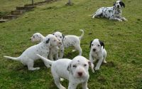 Dalmatian Puppies for sale in Indianapolis Blvd, Hammond, IN, USA. price: NA
