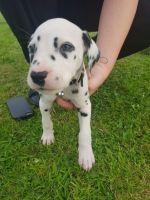 Dalmatian Puppies for sale in Fernandina Beach, FL 32035, USA. price: NA