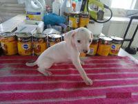 Dalmatian Puppies for sale in Newark, NJ, USA. price: NA