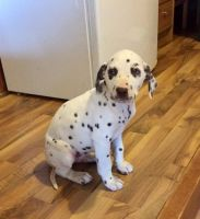 Dalmatian Puppies for sale in NJ-3, Clifton, NJ, USA. price: NA