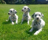 Dalmatian Puppies for sale in Hackettstown, NJ 07840, USA. price: NA