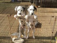 Dalmatian Puppies for sale in Califa St, Los Angeles, CA 91601, USA. price: NA