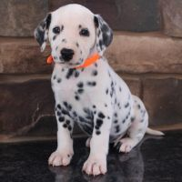 Dalmatian Puppies for sale in Canton, OH, USA. price: NA