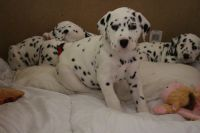 Dalmatian Puppies for sale in Elgin, TX 78621, USA. price: NA