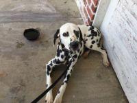 Dalmatian Puppies for sale in San Antonio, TX, USA. price: NA