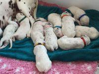 Dalmatian Puppies for sale in Cedar Grove, NJ 07009, USA. price: NA