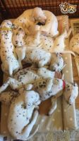 Dalmatian Puppies for sale in Indianapolis International Airport, Indianapolis, IN 46241, USA. price: NA