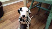 Dalmatian Puppies for sale in Corpus Christi, TX 78401, USA. price: NA