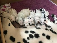 Dalmatian Puppies for sale in Crystal Spring, PA 15536, USA. price: NA