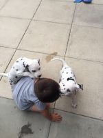 Dalmatian Puppies for sale in Fort Worth, TX 76164, USA. price: NA