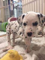 Dalmatian Puppies for sale in Phoenix, AZ, USA. price: NA