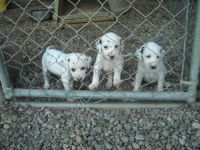 Dalmatian Puppies for sale in Maryland Rd, Willow Grove, PA 19090, USA. price: NA