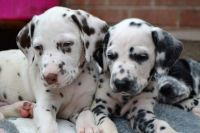Dalmatian Puppies for sale in Ridgeville Corners, OH 43555, USA. price: NA