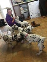 Dalmatian Puppies for sale in 662 Fulton St, Brooklyn, NY 11207, USA. price: NA