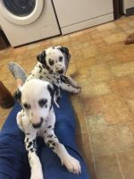 Dalmatian Puppies for sale in 323 6th Ave, New York, NY 10014, USA. price: NA