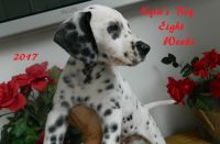 Dalmatian Puppies for sale in Beavertown, PA 17813, USA. price: NA