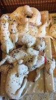 Dalmatian Puppies for sale in 103 Broadway, New York, NY 10025, USA. price: NA