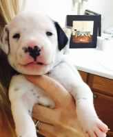 Dalmatian Puppies for sale in Marietta, GA 30062, USA. price: NA