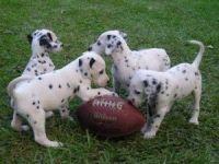 Dalmatian Puppies for sale in San Jose, CA, USA. price: NA